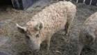 نتیجه عجیب ازدواج خوک با گوسفند (عکس)