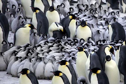 مهدکودک پنگوئن های کوچولو (عکس)