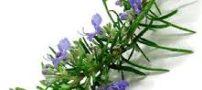استشمام این گیاه حافظه را تقویت خواهد کرد
