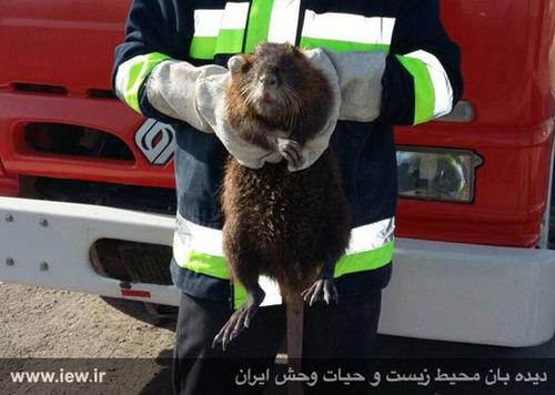 یافت یک پستاندار آمریکایی در خوی ! (+عکس)
