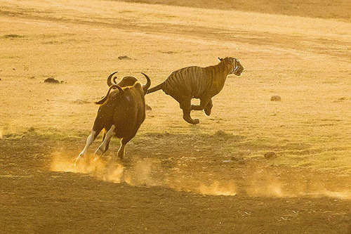 فرار جالب ببر از دست گاومیش عصبانی ! (عکس)
