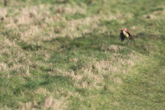 دارکوب سواری یک راسو + تصاویر