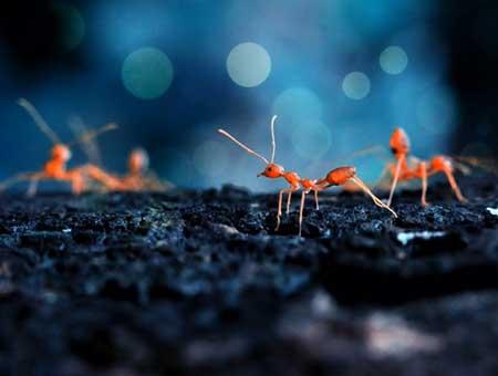 آیا می دانید مورچه ها هم سرویس بهداشتی دارند !