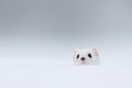 عکس های حیوانی عجیب و بانمک به نام قاقم