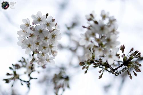 تصاویر زیبا از شکوفه های بهاری درختان گیلاس در ژاپن