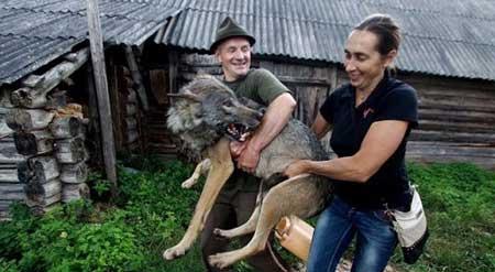 گرگ هایی که عضو این خانواده هستند (عکس)
