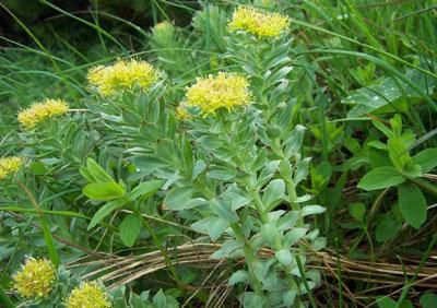 بهترین گیاهان دارویی در ارتفاعات کوه های هیمالیا