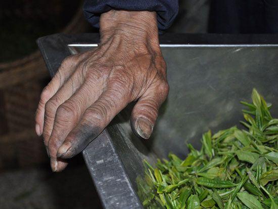 تولید چای ابر و مه در چین + تصاویر