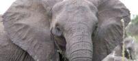 عکس های جالب از فیل صورتی رنگ