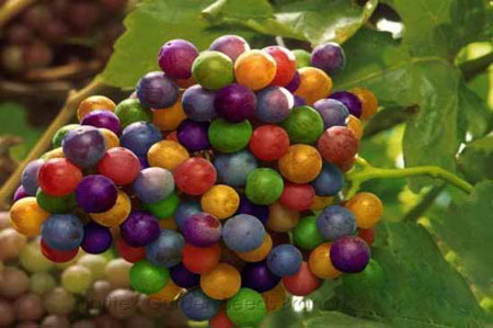 انگورهایی جالب و دیدنی به رنگ رنگین کمان (عکس)