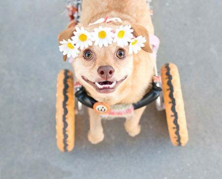 سگ معلولی که بسیار خوشبخت است + تصاویر