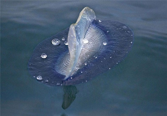 ماهی عجیب و دیدنی در سواحل کالیفرنیا (عکس)