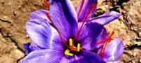 نکاتی جالب و مفید در مورد زعفران