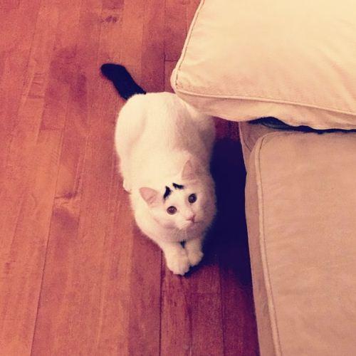 عکس های گربه ای با ابروهای خنده دار
