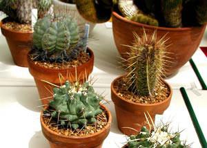 آموزش نحوه نگهداری و تکثیر گیاه کاکتوس