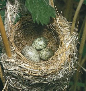 چرا پرندگان تخم گذارند؟