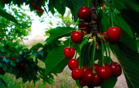 تصاویر دیدنی از میوه های خوشمزه بهاری