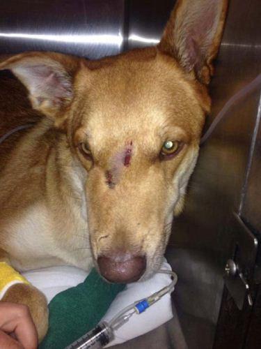 سگی که برای نجات صاحبش جان خود را به خطر انداخت