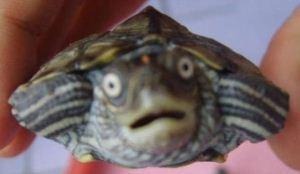 صورت این لاکپشت با فناوری 3 بعدی بازسازی شد!