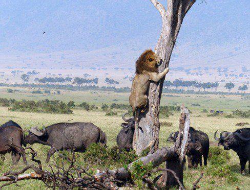 تصاویر دیدنی از فرار شیر ترسو از بوفالو ها