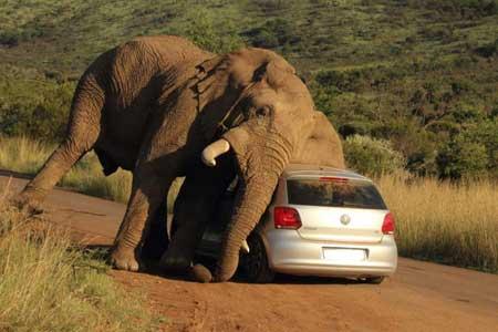 فیل مست خودرو را داغون کرد (+عکس)