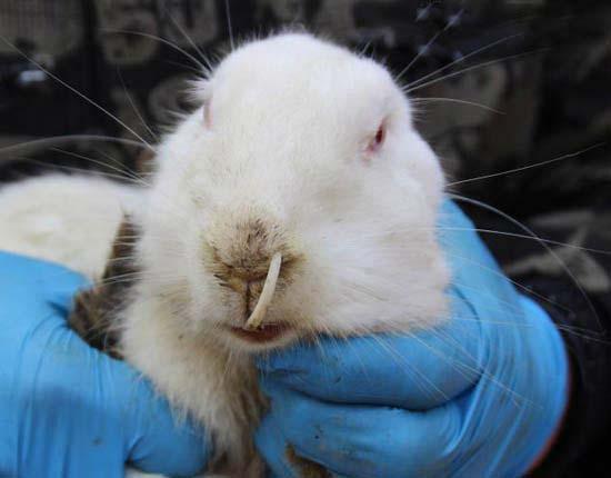 خرگوشی که دندانش بیش از حد رشد کرده است (عکس)