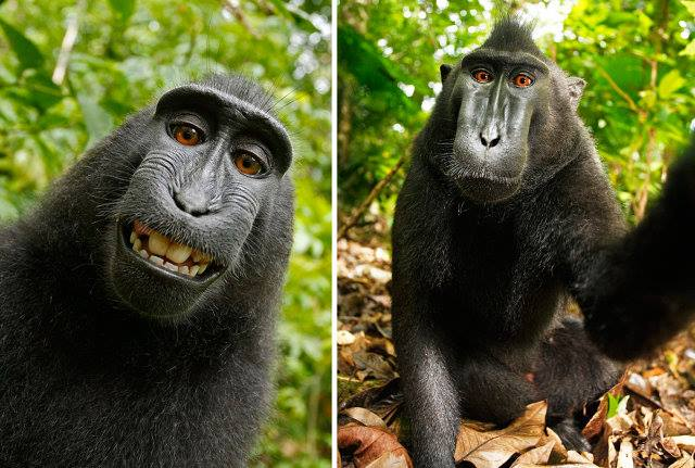 عکس سلفی جالب یک میمون از خودش