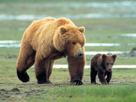 شرایط زندگی زجرآور خرس قهوهای در دیوار مرگ