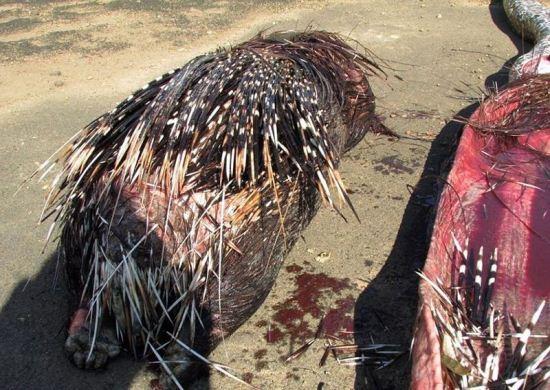 جوجه تیغی، غذایی مرگ آور برای مار گرسنه (عکس)