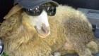 نتیجه عجیب ازدواج گوسفند با خوک !+ عکس