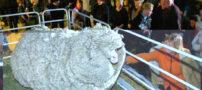 این گوسفند اکنون شهرت جهانی دارد (+عکس)