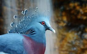 کبوتر غول پیکر ویکتوریا را بیشتر بشناسید + عکس