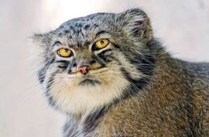 عکس های جالب و دیدنی از نادرترین گربه جهان