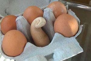 تخم مرغ عجیب مرد کشاورز را شگفت زده کرد !!!!! + عکس 1