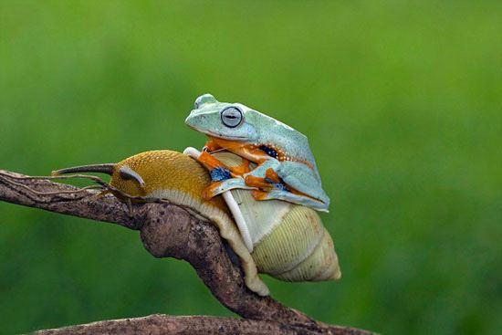 تصاویر دیدنی از قورباغه شیطون که حلزون سواری می کند
