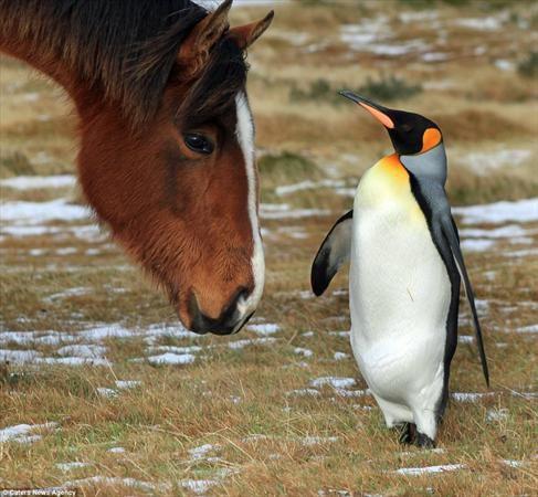عکس های دیدنی از رفاقت پنگوئن و اسب
