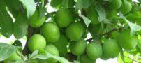 خواص درمانی گوجه سبز ( آلوچه )