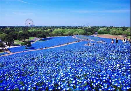 پارکی به رنگ آسمان در هیتاچی ژاپن + تصاویر