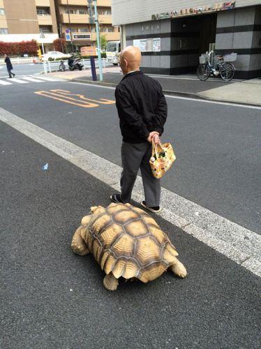 پیاده روی بزرگ ترین لاک پشت دنیا در خیابان + عکس