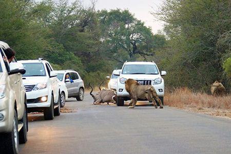 شکار کودو توسط شیرهای گرسنه در وسط جاده + تصاویر
