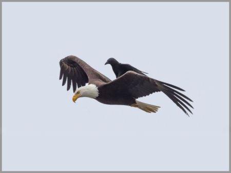 وقتی عقاب وسیله نقلیه کلاغ می شود + تصاویر