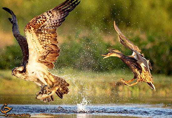 عکس هایی دیدنی از تلاش اردک برای پس گرفتن شکار