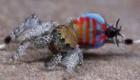 تصاویر دیدنی از یک عنکبوت رنگارنگ