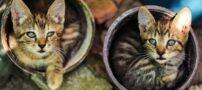 عکس های دیدنی از خوابیدن گربه های بامزه در گلدان ها