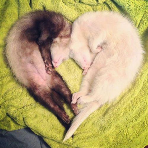 عکس های دیدنی از موش خرماهای بامزه و لوس