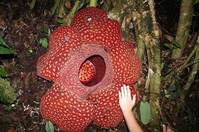 بزرگ ترین و کوچک ترین گل های دنیا را ببینید (عکس)