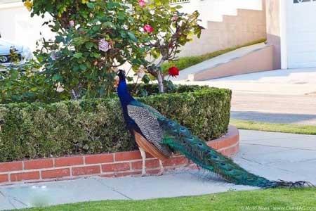 عجیب ترین پرندگان در لس آنجلس + تصاویر