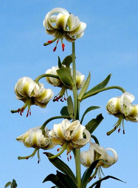 سوسن چلچراغ یکی از گونه های زیبای گل سوسن (عکس)