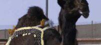 زیباترین شتر دنیا انتخاب شد + عکس