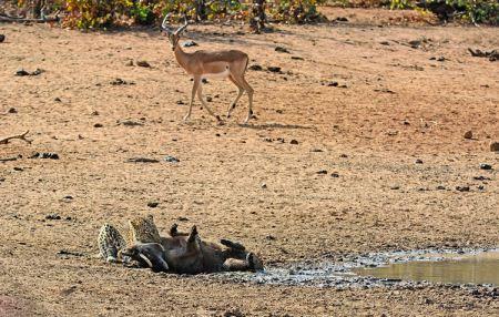 عکس های دیدنی از حمله پلنگ گرسنه به گراز